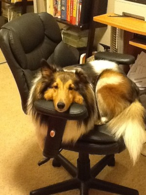 Sheltie sitting on computer chair