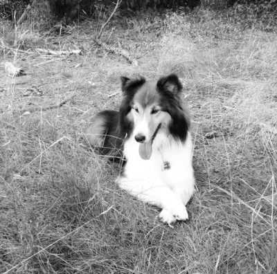 Sheltie with crossed paws