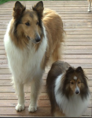 Sheltie and Collie
