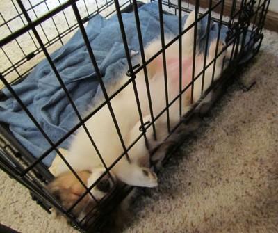 Sheltie puppy sleeping upside down