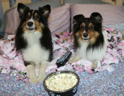 Shelties on bed with popcorn