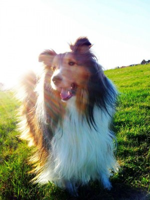 Sheltie in sunbeam