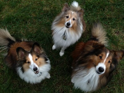 3 Shelties in the grass