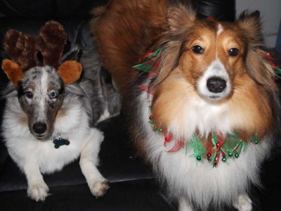 Shelties in Christmas costumes