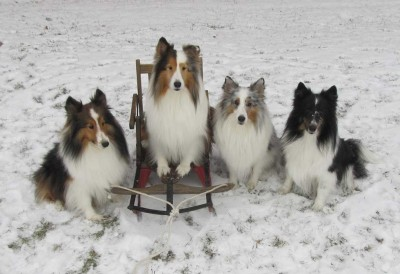 Sheltie Christmas picture