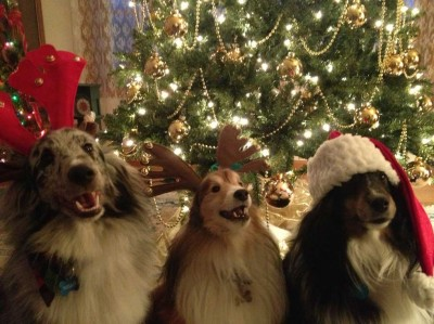 Shelties at Christmas