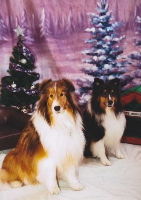 Shelties in winter scene