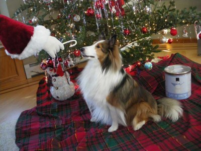 Sheltie getting treat from Santa