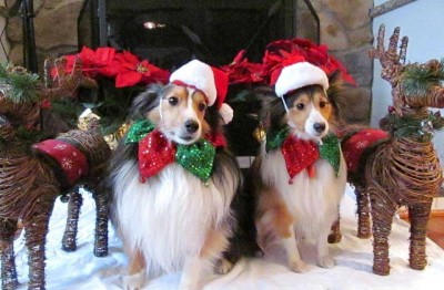 Cute Sheltie Christmas card