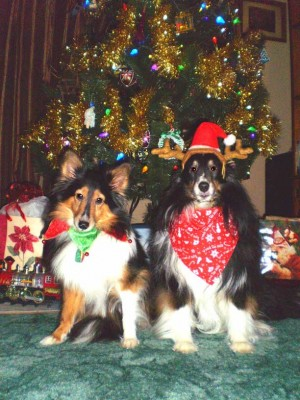 Shelties in Santa hats