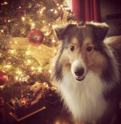 Sheltie puppy by Christmas tree