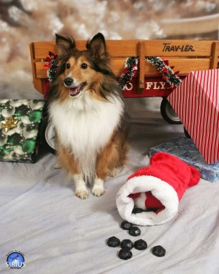 Sheltie posing with stocking