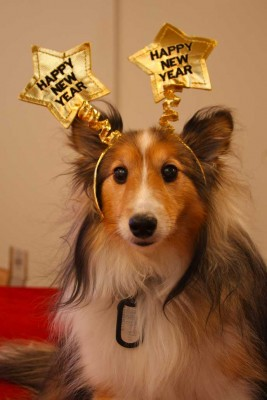 Sheltie in new year's hat