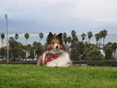 Sheltie in Califonia