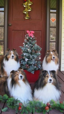 Pretty Sheltie Christmas card