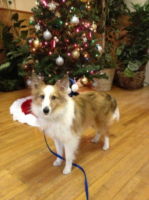 Sheltie and Christmas tree