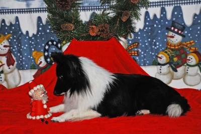 Sheltie and Christmas toy