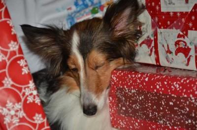 Sheltie sleeping on christmas presents