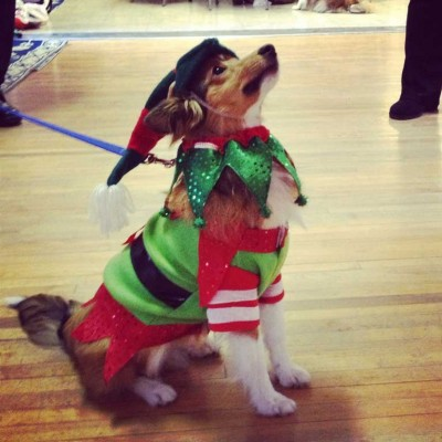 Sheltie in Christmas costume