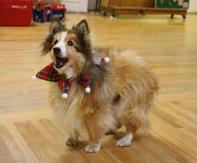 Rescue Sheltie at Christmas party