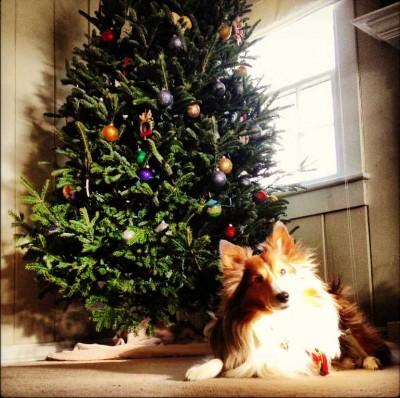 Sheltie under Christmas tree