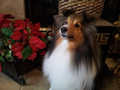 Sheltie and poinsettia