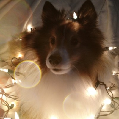 Sheltie in Christmas lights