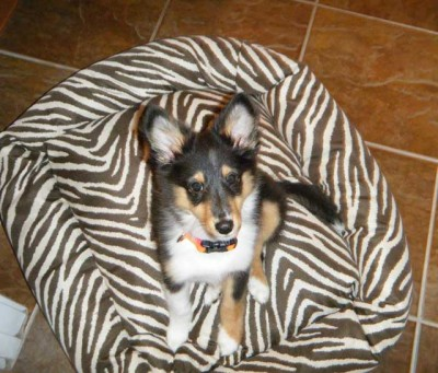 Sheltie on zebra stripe bed