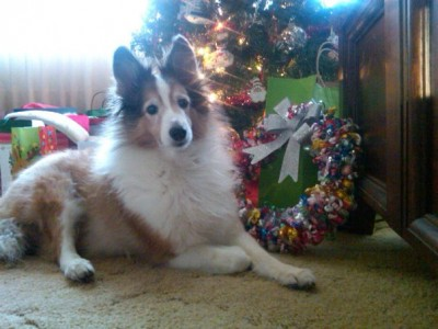 Sheltie and Christmas wreath