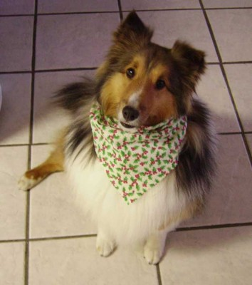Sheltie in Christmas bandana