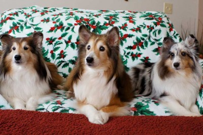 Shelties on Christmas blanket