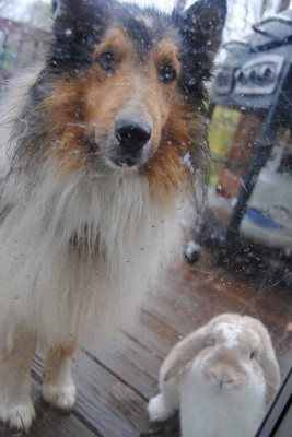 Sheltie and bunny rabbit