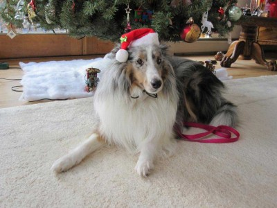 Sheltie in Santa Hat