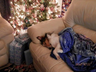 Sheltie sleeping on couch at Christmas
