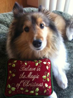 Sheltie and Christmas pillow