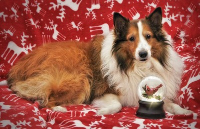 Sheltie and snow globe
