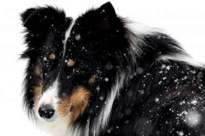Tri-color Sheltie in snow