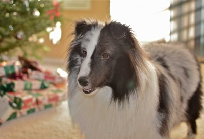 Merle Sheltie by Christmas tree