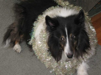Sheltie wearing garland