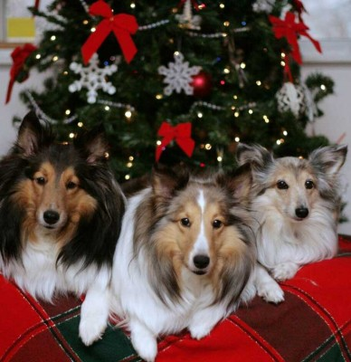 Christmas rescue Sheltie