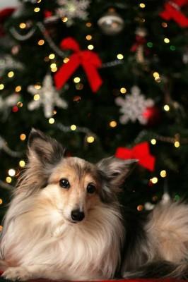 Christmas rescue Sheltie