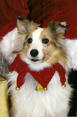 Sheltie dressed for Christmas