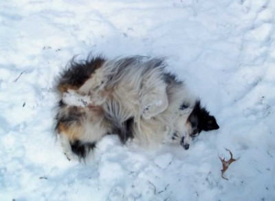 Sheltie rolling in snow
