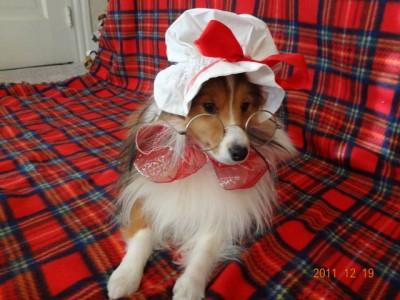 Sheltie dressed as Mrs. Santa Clause