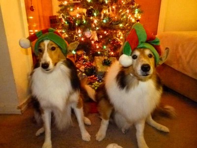 Shelties dressed as elves