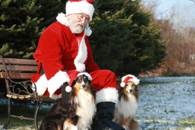 Shelties with Santa