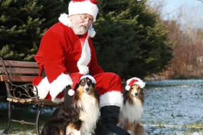 Shelties with Santa