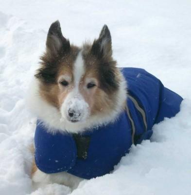 Sheltie in snow wearing coat