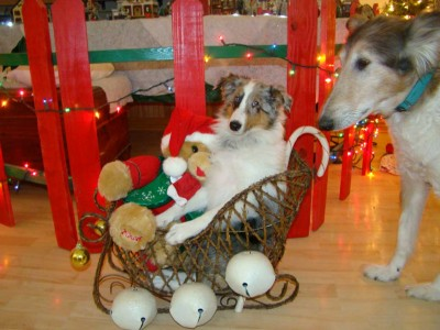 Sheltie in sleigh