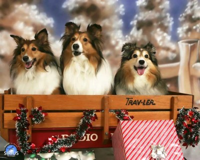 Shelties in Christmas wagon